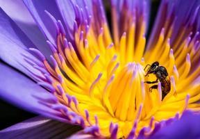 abeille dans le pétale bleu et pollen jaune de nénuphar photo