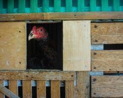 poulet dans le poulailler photo