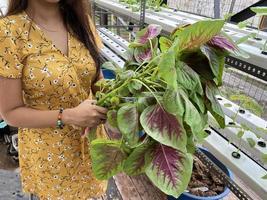 une personne tenant de l'amarante d'épinards chinois fraîchement cultivée à l'aide d'un système hydroponique de la marante à l'aide d'un système hydroponique photo
