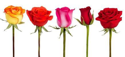 cinq roses de couleurs différentes photo