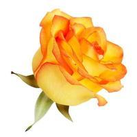 Bourgeon de roses jaunes sur fond blanc photo