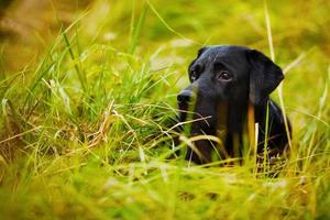labrador noir se cachant dans l'herbe photo