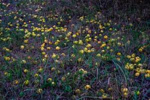 pommes sauvages dans la nature photo