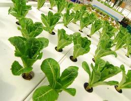 ferme de culture de parcelles de légumes biologiques hydroponiques photo
