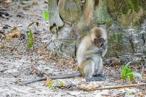 singe macaque dans la forêt tropicale de la jungle à koh phayam, thaïlande photo