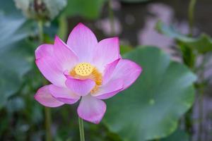 une fleur de lotus rose sur un fond de feuille de lotus vert photo