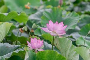 il y a beaucoup de fleurs de lotus roses dans l'étang de lotus photo