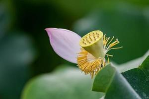 lotus rose en étang de lotus d'été photo