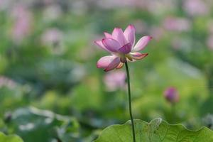 le lotus rose fleurit en été photo