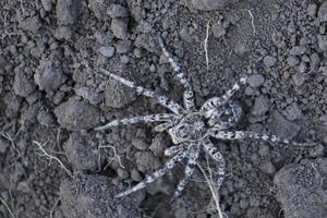 araignée-loup, tarentule sur le terrain photo