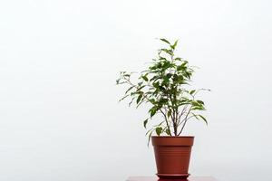 plante verte dans le pot isolé sur fond blanc. - concept écologie photo