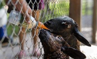 nourrir des chèvres noires avec une bouteille de lait photo