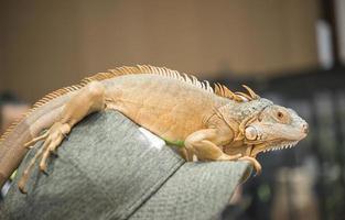portrait d'iguane sur une casquette photo