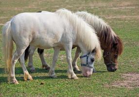 les chevaux nains se reposent sur l'herbe. photo