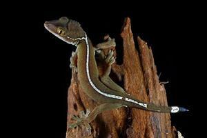 lézard gecko de ligne blanche photo