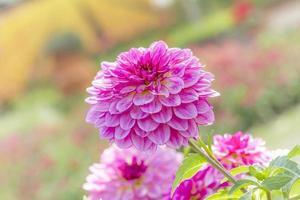 Pétales de dahlia pinnata cav dans jardin photo