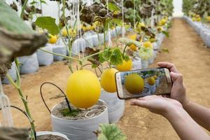 agriculteur observant une photographie de melon déposée dans un téléphone portable photo