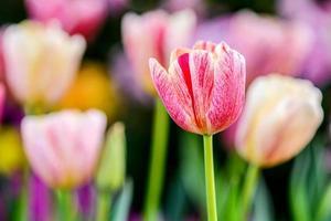 tulipes colorées dans le jardin. photo