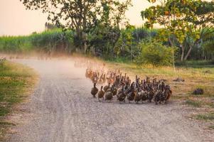 troupeau de canards marchant sur un chemin de terre dans la plantation photo