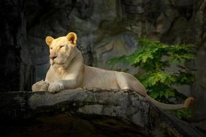 lionne blanche reposant sur des rochers. photo