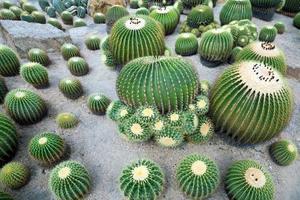 plantes du désert de cactus sur le terrain. photo