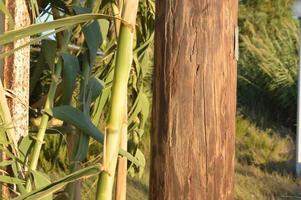 le bambou pousse sur la côte égéenne sur l'île de rhodes en grèce photo