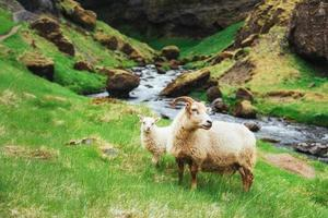 le mouton islandais. cascade de vues fantastiques dans le parc national photo