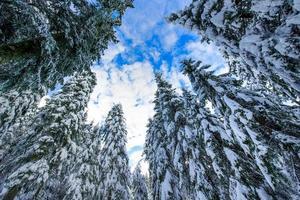 grands épinettes après de fortes chutes de neige photo