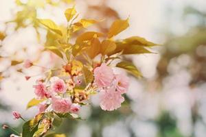 des brindilles de sakura rose fleurissent au soleil. mise au point sélective douce. texture florale de printemps. photo