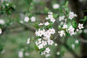 fleurs de cerisier en pleine floraison. fleurs de cerisier en petites grappes sur une branche d'un cerisier se transformant en blanc sur fond vert. faible profondeur de champ. texture florale. photo