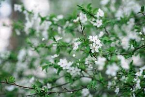 fleurs de cerisier en pleine floraison. fleurs de cerisier en petites grappes sur une branche d'un cerisier se transformant en blanc sur fond vert. faible profondeur de champ. texture florale. mise au point douce. photo
