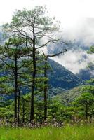 Pin sur la montagne avec du brouillard au parc national de phu soi dao, uttaradit, thaïlande photo