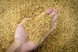 vue de dessus riz paddy à portée de main photo