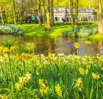 couronne jaune colorée impériale fritillaria imperialis jonquilles lisse hollande pays-bas. photo