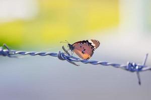 un papillon sur du fil de fer barbelé. un symbole de liberté dans la prison photo