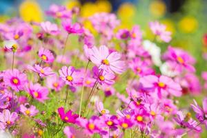 fleurs de cosmos dans le jardin photo