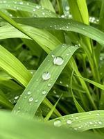 herbe verte fraîche avec des gouttes d'eau de pluie. fond de nature d'été. scène de la nature avec des gouttelettes sur feuille verte. belle image artistique de pureté et de fraîcheur de la nature photo
