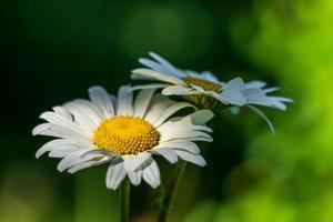 gros plan de deux fleurs de marguerite au soleil photo