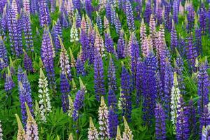 champ dense de fleurs de lupin bleu et rose photo