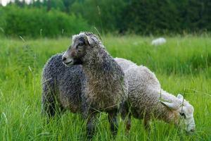 mouton et agneau dans un vert pâturage photo