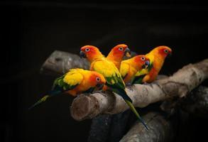 groupe de sunconure perroquet oiseau fond sombre photo