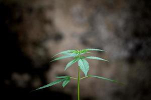 feuilles de marijuana fraîches photo