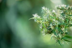 marijuana cannabis sativa photo