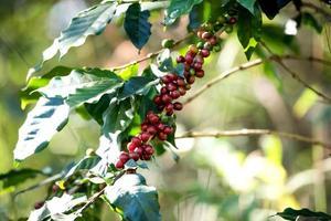 mûrissement des baies de grains de café sur une ferme de café photo