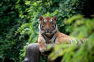 tigre du bengale se reposant parmi le buisson vert photo