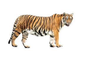 tigre du Bengale isolé photo