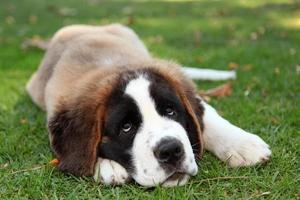 chiot chien à l'extérieur dans l'herbe photo