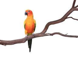 perroquet conure soleil unique sur une branche d'arbre photo