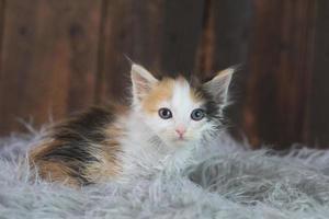 mignon chaton calicot assis sur la fourrure photo