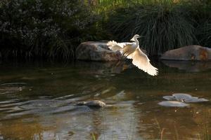 Aigrette neigeuse volant hors de l'eau photo